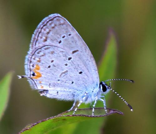 Eastern Tailed Blue (Cupido comyntas)