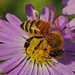 Close To The Bee by G.Sartori.510