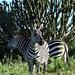 Duochrome zebra