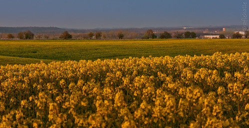 Rapsfeld | rape field