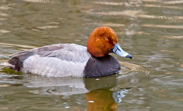 Redhead Duck | Flickr - Photo Sharing!