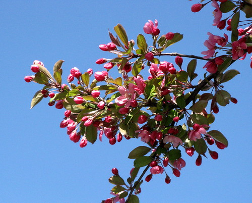 Crabapple Blossoms And The Sky