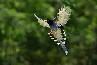 .~☆ 台灣藍鵲 ☆~.Taiwan Blue Magpie