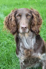 dog breed, animal, english setter, cesky fousek, german longhaired pointer, sussex spaniel, dog, boykin spaniel, welsh springer spaniel, large mã¼nsterlã¤nder, pet, small mã¼nsterlã¤nder, spinone italiano, field spaniel, drentse patrijshond, irish setter, setter, russian spaniel, english cocker spaniel, picardy spaniel, blue picardy spaniel, spaniel, german wirehaired pointer, hunting dog, german spaniel, french spaniel, english springer spaniel, american water spaniel, carnivoran,