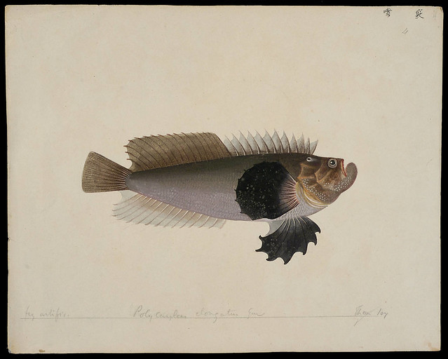 Trachicephalus uranoscopus (Bloch & Schneider, 1801) - (fig artifice)