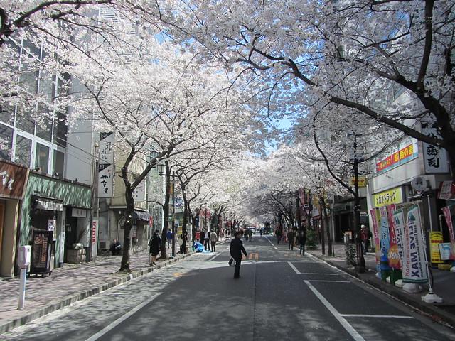 Sakura view, outside Tokyo Station, Tokyo, Japan