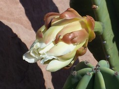 plants_cactus_flowers_cereus_buds_5