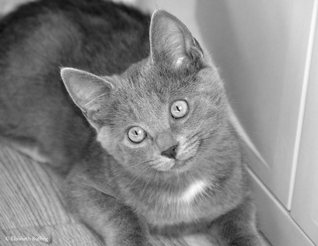 Waldo, Gray kitten by Elizabeth Ruffing