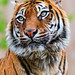 Sumatran tigress looking on the side