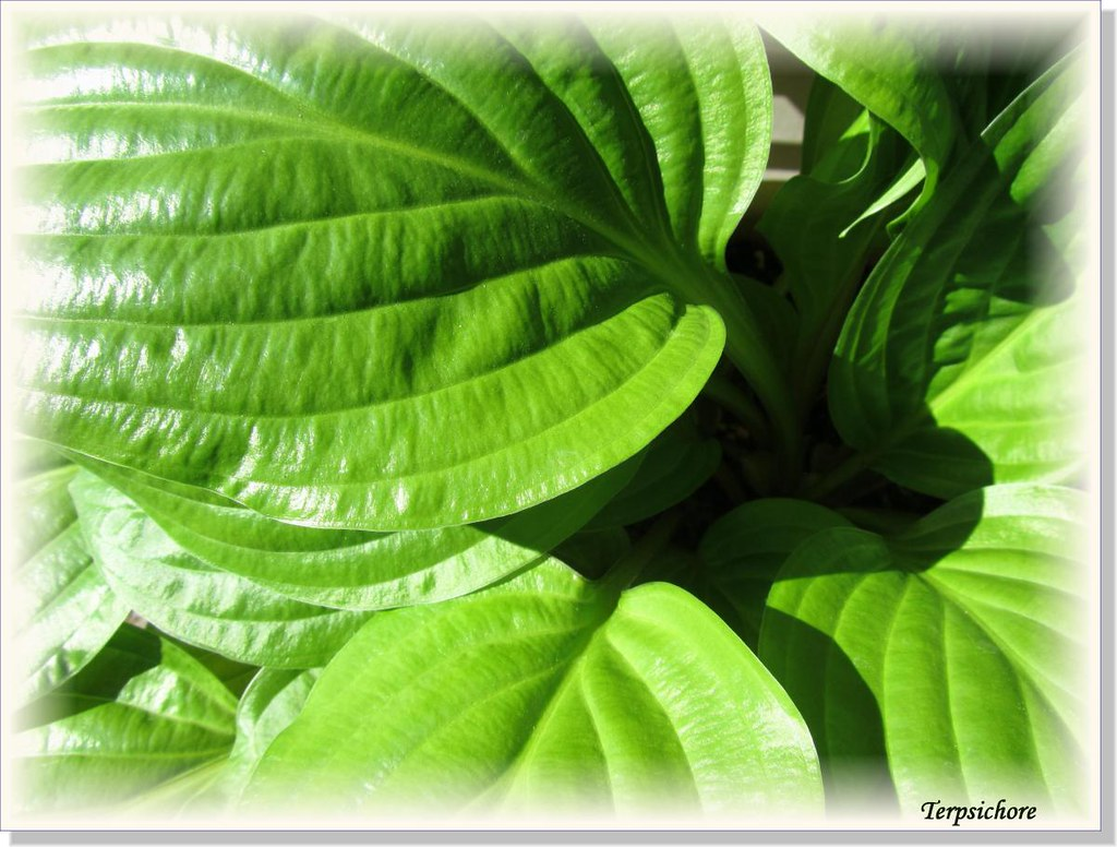 Hostas Only 1 (21)