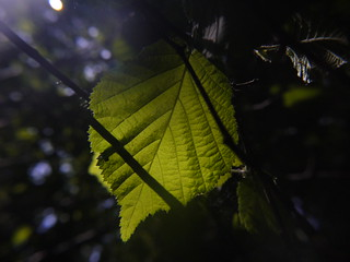 Hazel Leaf Shadow