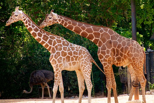 Giraffes Necking by Bob Owen