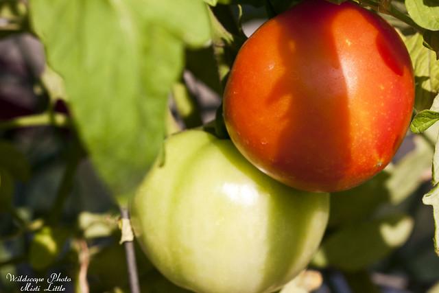 tomato13