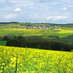 The rolling canola rape fields in bloom