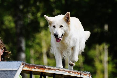 Dog Agility (Sydostcupen Nybro 2012)