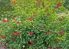 Coral bean (Erythrina herbacea)2