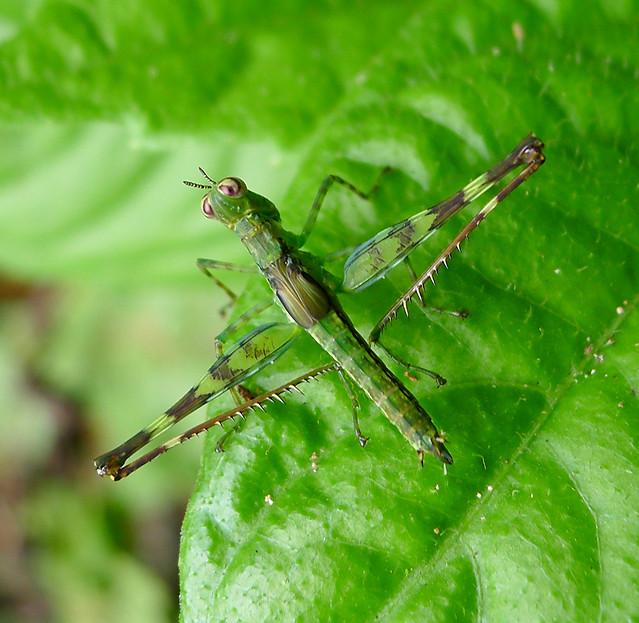 Header of Eumastacidae