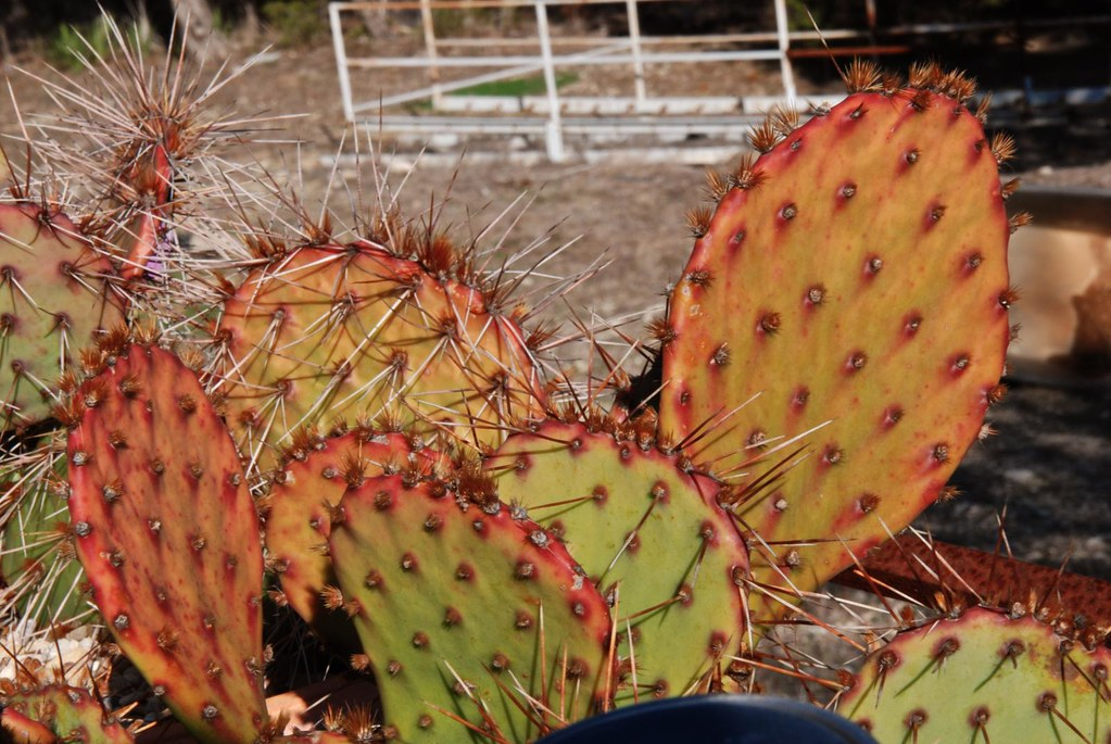 Opuntia in winter