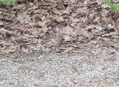 a friendly ground squirrel (tail not pictured)