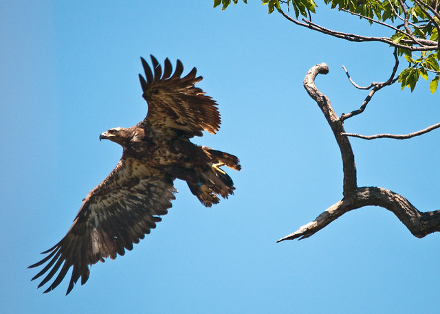 Immature Eagle at Mason Neck State Park is part two for August's Featured Park of the Month.
