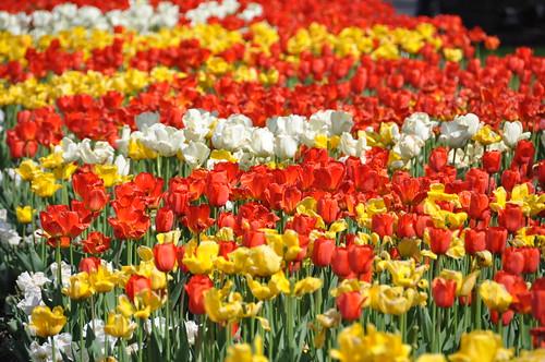 Tulipes du Jardin Botanique