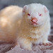 Cute albino ferret