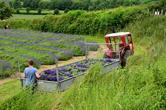Shoreham Lavender