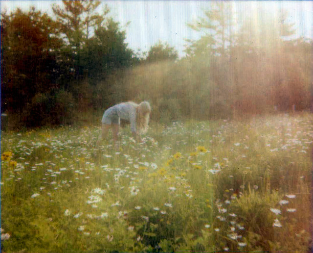wild daisies of New Hampshire