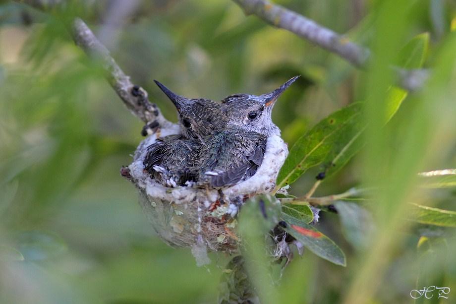 Hybrid Hummingbird nest 062912