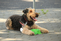 animal, dog, schnoodle, pet, glen of imaal terrier, mammal, lakeland terrier, welsh terrier, terrier, airedale terrier,