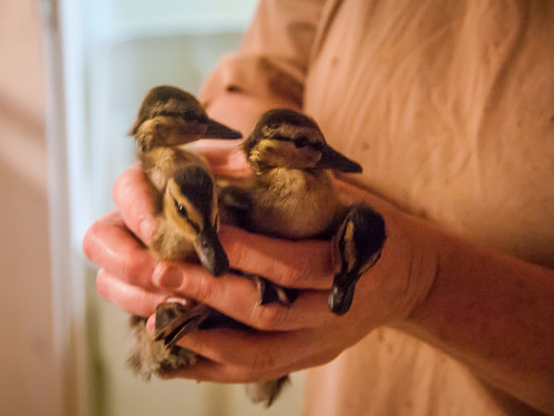 a handful of ducklings