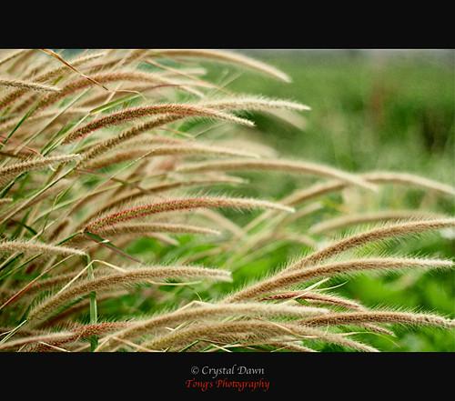 Like Barley Bending by Crystal Dawn 彤