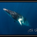 2012-7 Great Barrier Reef - Minke Whales-35.jpg by Julian Cohen