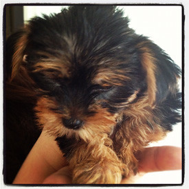 Puppy Yorkie - July 02 (5)