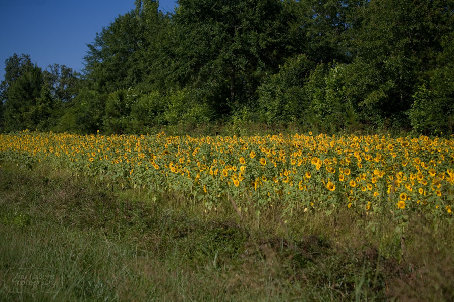 Sunflowers_Jun212012_0016