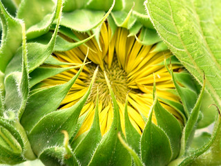 A promise of a beautiful sunflower!