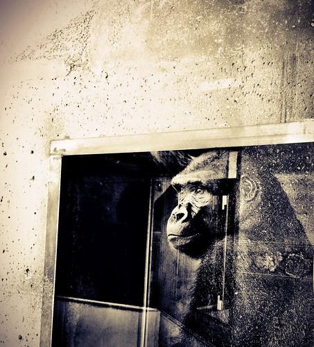 [フリー画像素材] 動物 1, 猿・サル, ゴリラ, セピア ID:201207171000