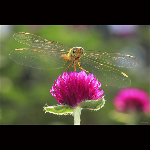 funny dragonfly by -clicking-