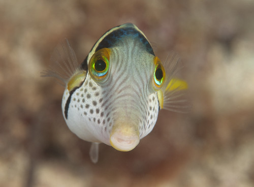 giant puffer fish puffed up - photo #10