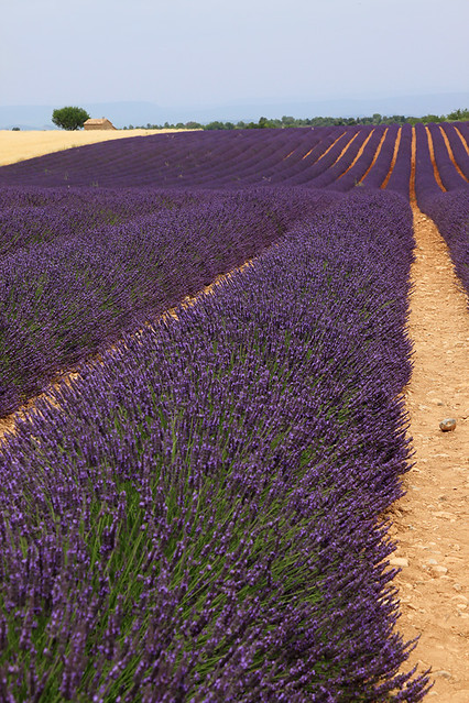 Rows of lavender in Provence, France
