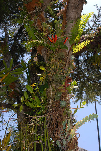 Sinningia cardinalis Growing Epiphytically 2