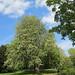 Horse chestnut, Dulwich Park