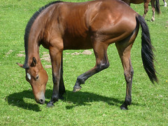 stallion(0.0), colt(0.0), rein(0.0), foal(0.0), horse grooming(0.0), animal(1.0), mane(1.0), mare(1.0), grass(1.0), pack animal(1.0), horse(1.0), grazing(1.0), mustang horse(1.0), meadow(1.0), pasture(1.0),