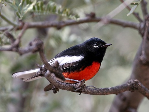 1painted redstart mike williams laf