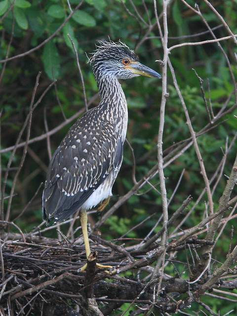 Yellow-crowned Night-Heron immature 20120724