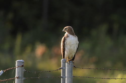 Red-tailed Hawk_1020.jpg