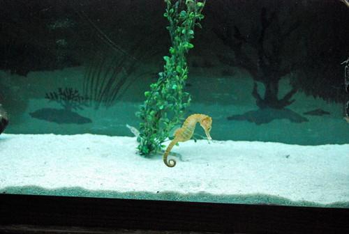 JA - mini seahorse