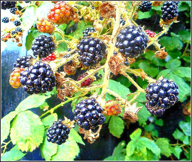 End of Season Blackberries ..