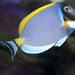 Small photo of Acanthurus leucosternon, Powder Blue Sturgeonfish