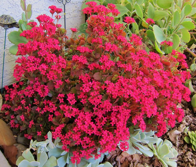 Unknown kalanchoe